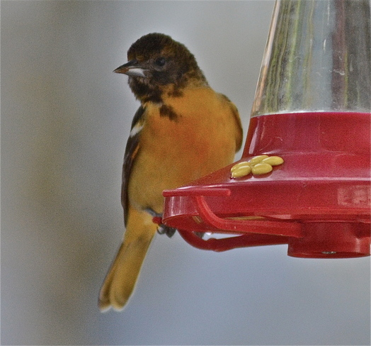 New Feeder for Oriole Wellington, Ontario Canada
