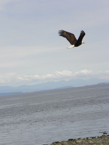Eagle flying over Discovery Passage Campbell River, British Columbia Canada