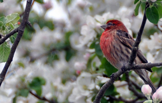 House Finch in the apple tree London, Ontario Canada