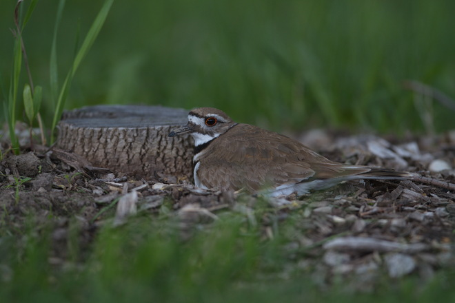 Killdeer on the Nest Goderich, Ontario Canada