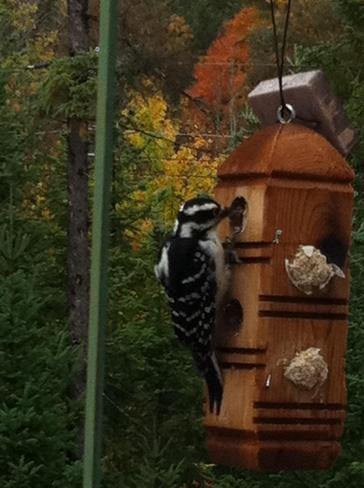 Woodpecker having breakfast Bracebridge, Ontario Canada