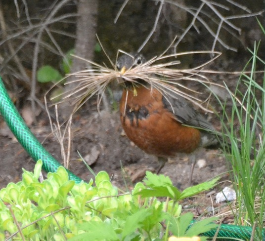 Mr Robin Collecting straw for his nest!!! Cantley, Quebec Canada
