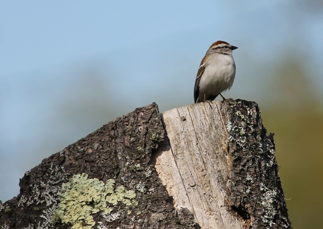 A Patient Chipping Sparrow. St. Stephen, New Brunswick Canada