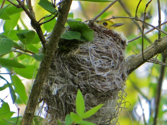 Yellow Warbler Nest at the RBG Hamilton, Ontario Canada