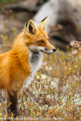 Red Fox Whitney, Ontario Canada