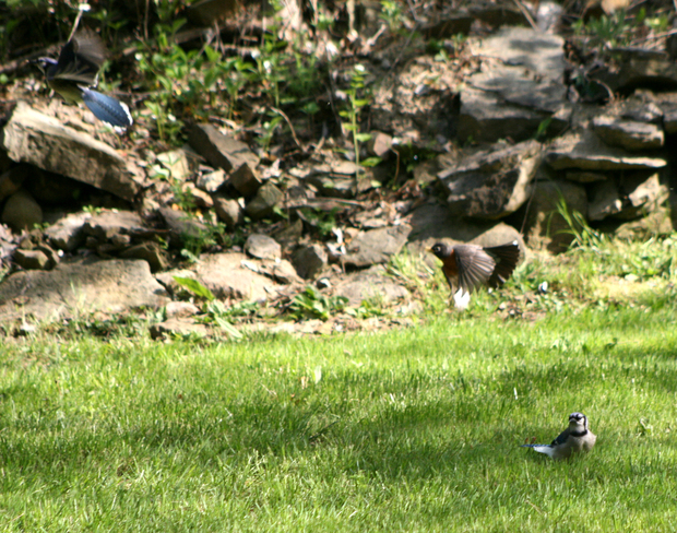Blue Jays and robin spat Beamsville, Ontario Canada