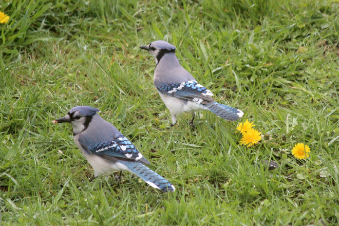 Blue jay Couple Bridgewater, Nova Scotia Canada