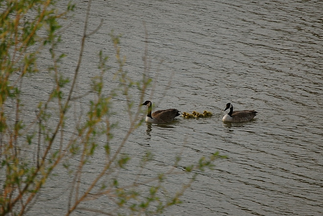 Goslings out for a swim Airdrie, Alberta Canada