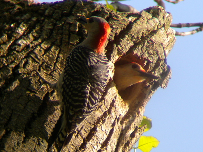 Red Bellied Woodpeckers Jarvis, Ontario Canada