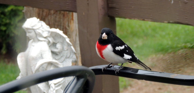rose breasted grosbeak Flinton, Ontario Canada