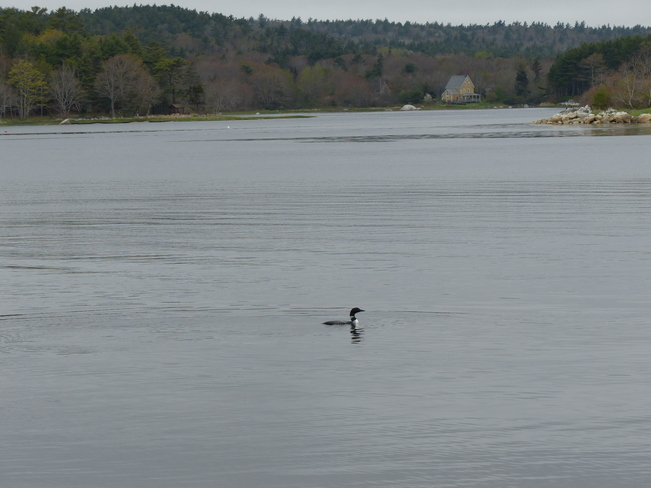 Loon Shelburne, Nova Scotia Canada