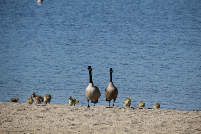 Goose Family out for a walk... Kelowna, British Columbia Canada