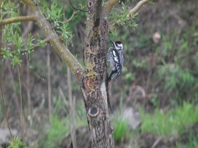 Beautiful Woodpecker Hantsport, Nova Scotia Canada