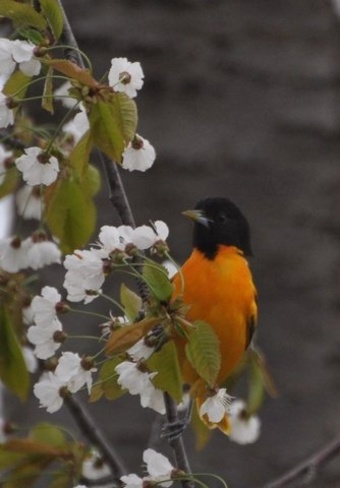 Baltimore Oriole St. Catharines, Ontario Canada