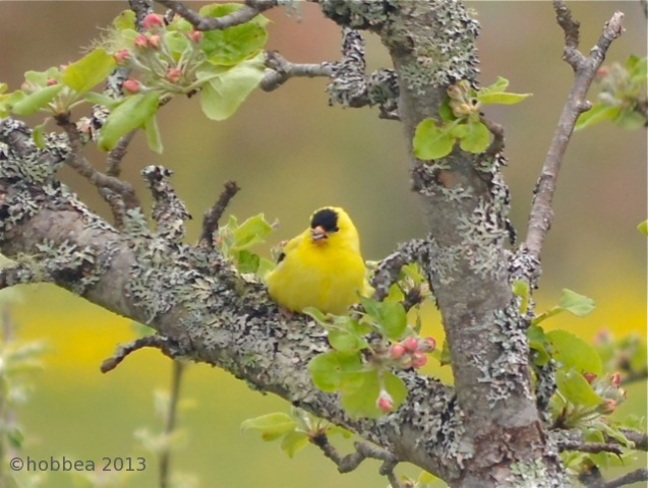 American Goldfinch Wilsons Beach, New Brunswick Canada