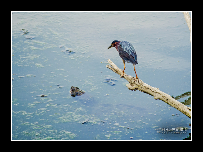 Green Heron and Snapper