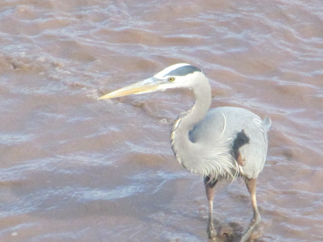 The Great Blue Heron Moncton, New Brunswick Canada