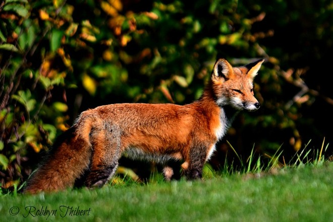 Fox on the green Plantagenet, Ontario Canada