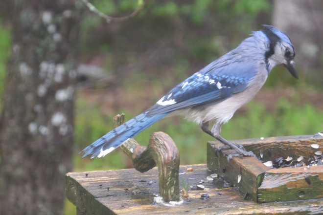 Blue Jay, Wet Chester, Nova Scotia Canada