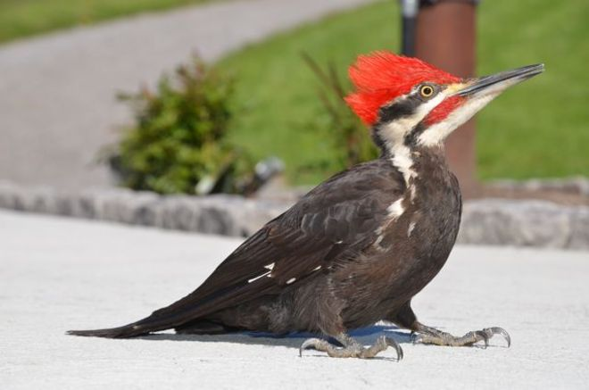 Red-Crested Pileated Woodpecker at Shining Brow Roseneath, Ontario Canada