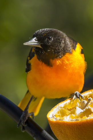 Male Baltimore Oriole Thornbury, Ontario Canada