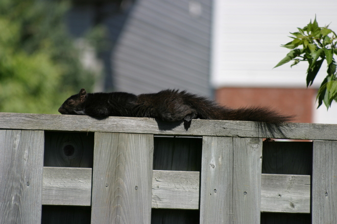 Lazy Squirrel Cambridge, Ontario Canada