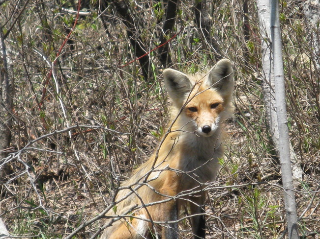 fox in my backyard Chapleau, Ontario Canada