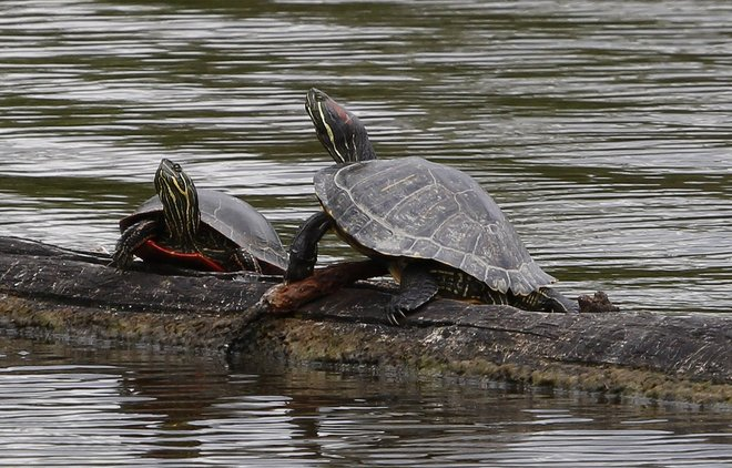 Stoic Turtles Delta, British Columbia Canada