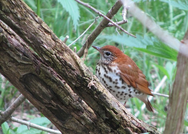 Wood Thrush at Magee Marsh Oregon, Ohio United States