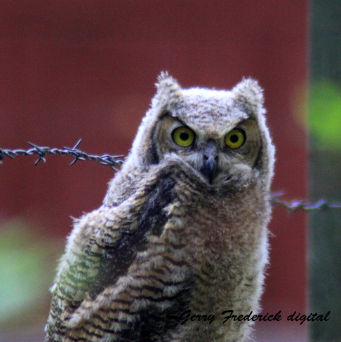 Young Horned Owl Cranbrook, British Columbia Canada