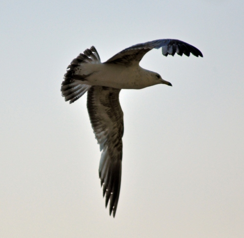 seagull in flight Oakville, Ontario Canada