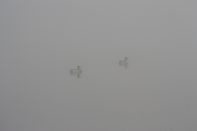 Foggy Morning Ducks