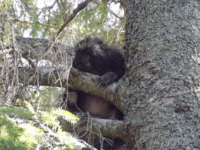 Monkey in a Pine Tree? Earlton, Ontario Canada
