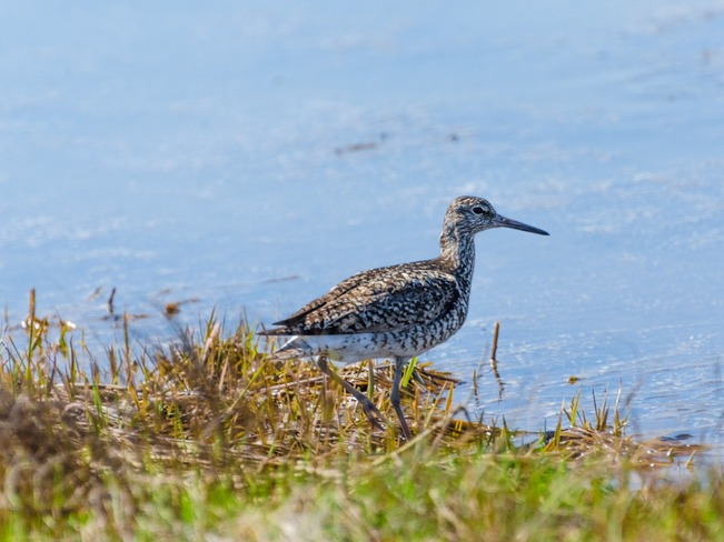 Willet Miramichi, New Brunswick Canada