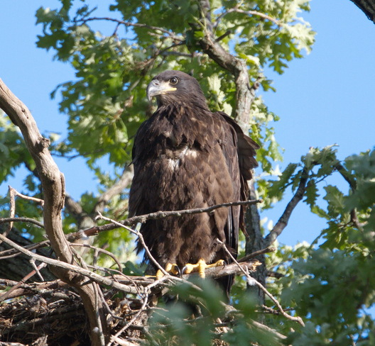 Eaglet Ready to Fledge Dungannon, Ontario Canada
