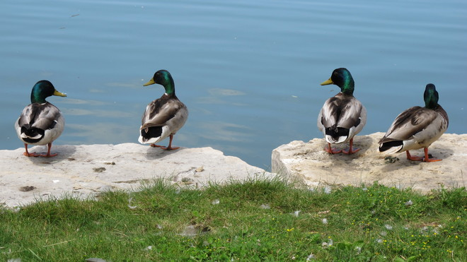 Ducks thinking about going for a swim Southampton, Ontario Canada