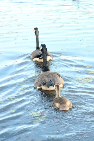 Goose Family on a Beautiful Evening Sault Ste. Marie, Ontario Canada