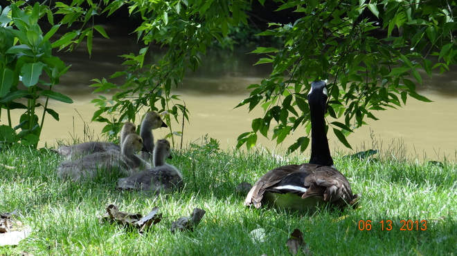 Having a rest after a feeding of grass London, Ontario Canada