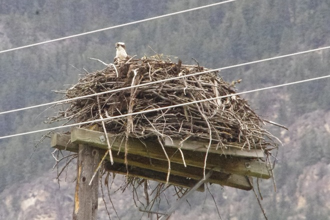 Osprey nesting Golden, British Columbia Canada