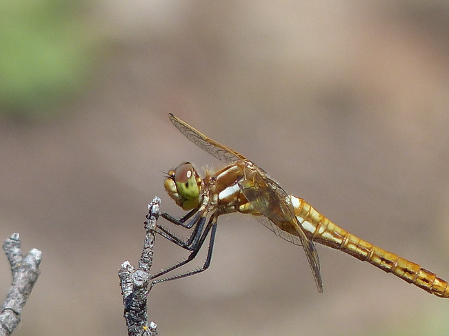 Dragonfly Grand Forks, British Columbia Canada