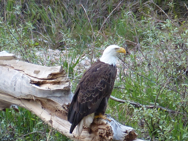 Bald eagle Grand Forks, British Columbia Canada