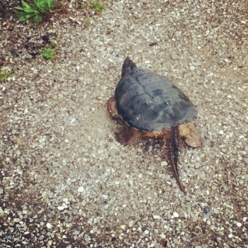 snapping turtle!!!! Kitchener, Ontario Canada