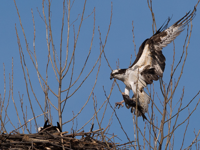 Osprey brings a fish for his sweetie. Kingston, Ontario Canada