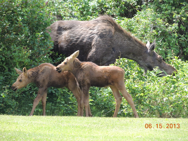 two calf moose Smithers, British Columbia Canada