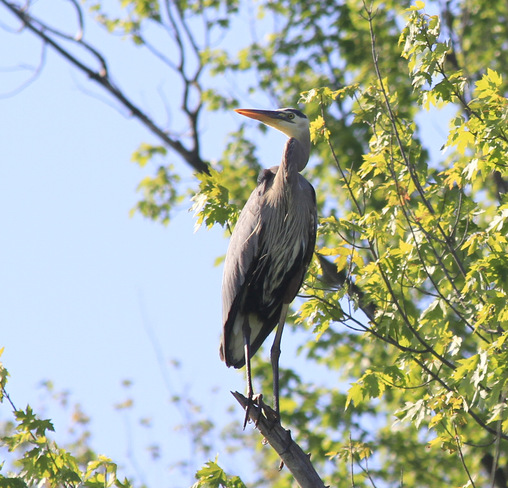 Majestic great heron Lac-Brome, Quebec Canada