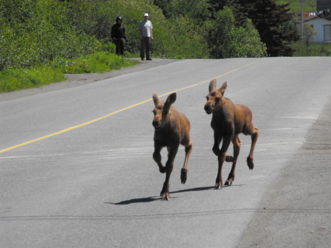 Two Baby moose Milltown-Head of Bay d'Espoir, Newfoundland and Labrador Canada