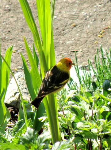 Western Tanager Kamloops, British Columbia Canada