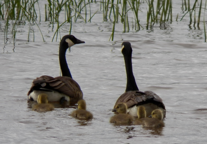 ADORABLE BABY GOSLINGS Barrys Bay, Ontario Canada