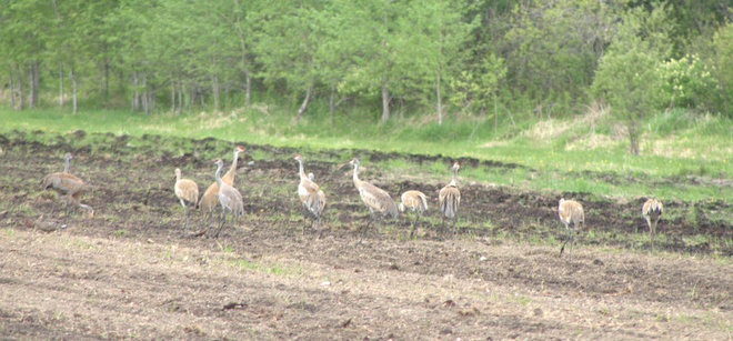 Cranes getting together Timmins, Ontario Canada