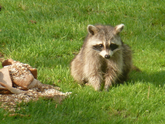 Raccoon Marmora and Lake, Ontario Canada